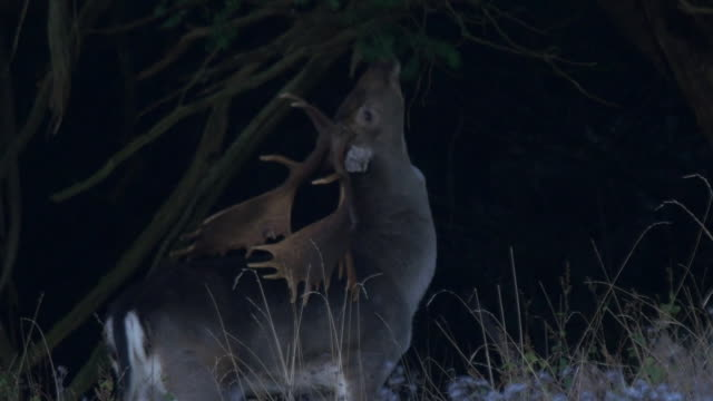 fallow deer stag (dama dama) at night eating leaves from a low branch. south downs - stag night stock videos & royalty-free footage