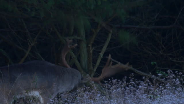 fallow deer stag (dama dama) rubbing its antlers on a low branch. night, south downs - stag night stock videos & royalty-free footage