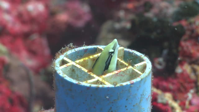 False Cleanerfish (Aspidontus taeniatus) swims out of plastic pipe home, other reef fishes around, Monad Shoa, Malapascua, The Philippines