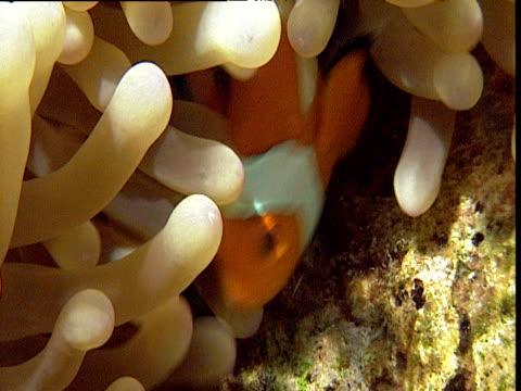 vidéos et rushes de false clown anemone fish hides in large anemone host, sulawesi - poisson clown à trois bandes