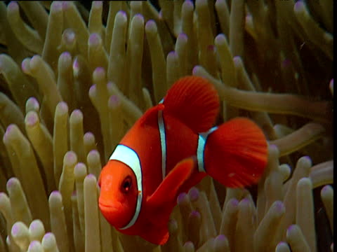 False clown anemone fish swims about in protective anemone host, Sulawesi