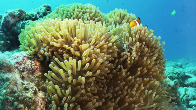 false clown anemonefish - sea anemone stock videos and b-roll footage