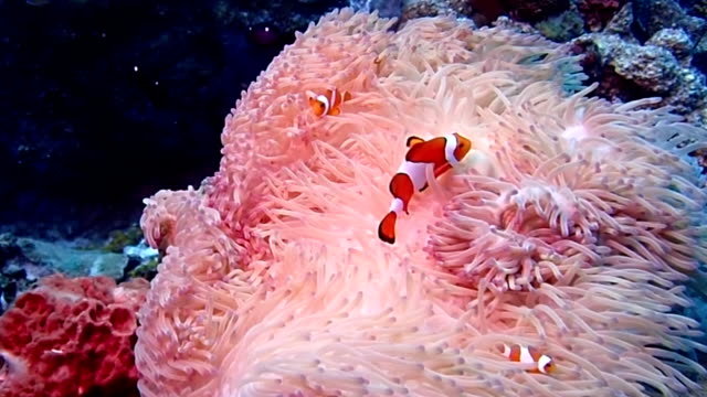 false clown anemonefish - sea anemone stock videos & royalty-free footage