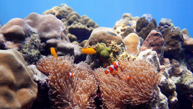 false clown fish anemonefish (amphiprion ocellaris) in magnificent anemone (heteractis magnifica), koh rok, thailand - sea anemone stock videos & royalty-free footage