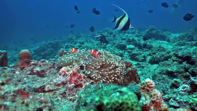 vidéos et rushes de poisson clown faux anemonefish (amphiprion ocellaris) sur le récif de corail, thaïlande - fonds marins