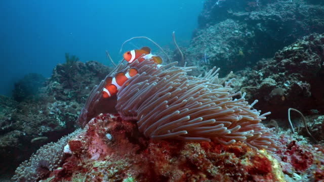 false clown fish anemonefish (amphiprion ocellaris) on coral reef, thailand - moorish idol stock videos and b-roll footage