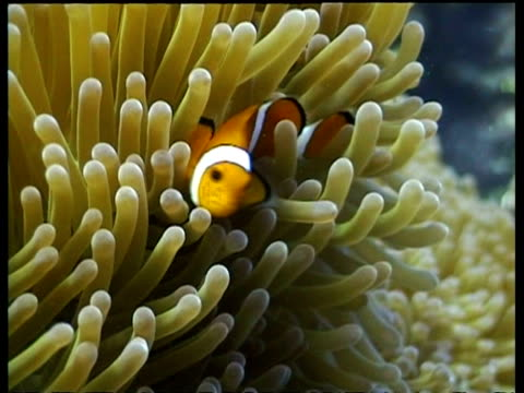 false clownfish by yellow anemone, divers in background, sabah, borneo, malaysia - pälsteckning bildbanksvideor och videomaterial från bakom kulisserna