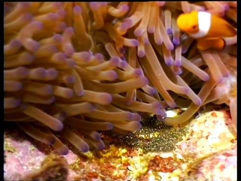 false clownfish, male and female tending eggs to keep them cool, with anemone - sea anemone stock videos & royalty-free footage
