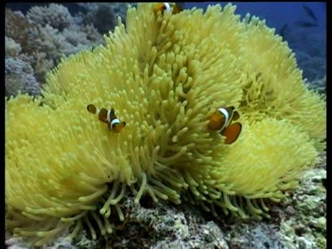 vídeos y material grabado en eventos de stock de false clownfish swimming around yellow anemone, sabah, malaysia - patrones de colores