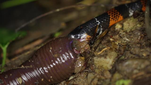 false coral snake atractus elaps feeding on a giant earthworm on the rainforest floor in ecuador - floor length stock videos & royalty-free footage