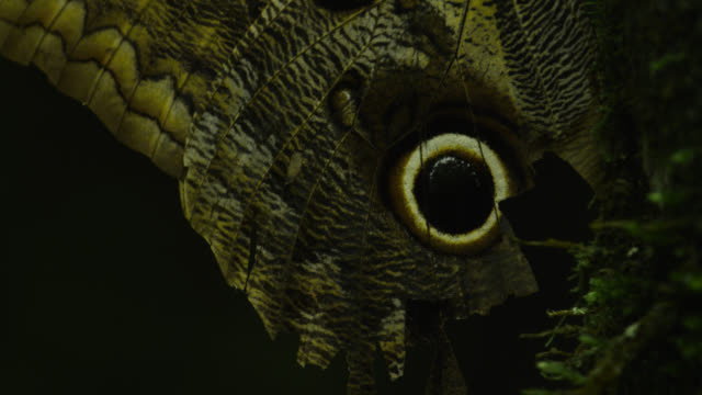 false 'eye' on wing of large owl butterfly (caligo species) damaged as result of predation attempt.. - tierflügel stock-videos und b-roll-filmmaterial