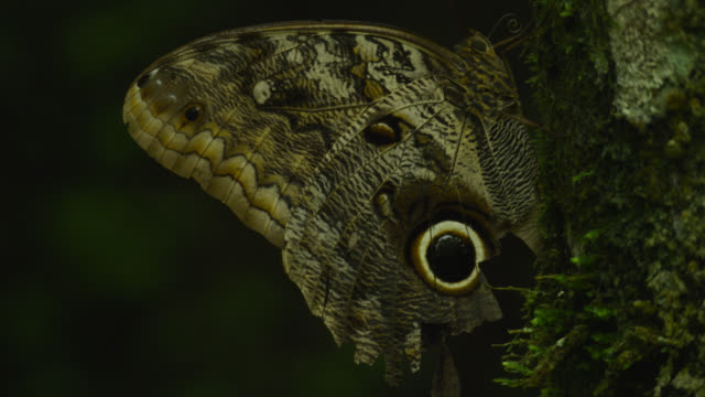 vídeos de stock e filmes b-roll de false 'eye' on wing of large owl butterfly (caligo species) damaged as result of predation attempt.. - asa de animal