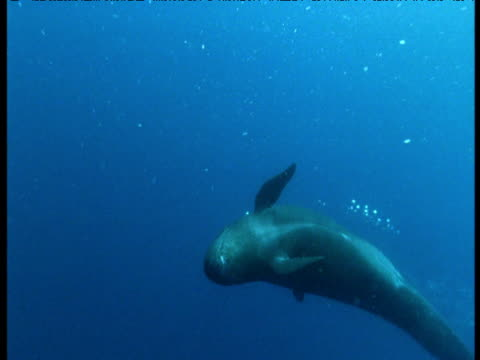 false killer whale swims and dives past camera, azores - false killer whale stock videos & royalty-free footage