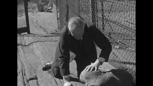 vs famed arctic explorer capt bob bartlett plays with baby walrus peel in an outdoor bronx zoo enclosure as the walrus makes noises and waddles... - bronx zoo stock-videos und b-roll-filmmaterial