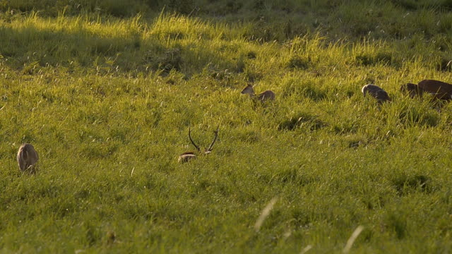 family deer in morning - deer family stock videos and b-roll footage