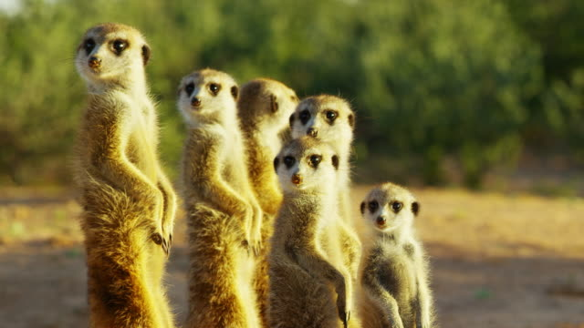 cu family group of meerkats standing in dawn light suddenly look to camera - medium group of animals stock videos & royalty-free footage