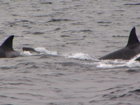 stockvideo's en b-roll-footage met family group of orca, killer whales - rugvin