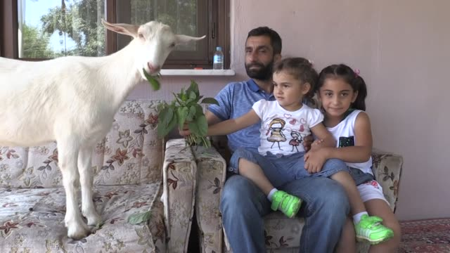 a family living in northwestern turkey has adopted a goat after his mother left him as a baby living in bayramci village of duzce province the family... - animal family stock videos & royalty-free footage