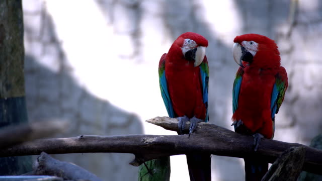 family macaws - perching stock videos & royalty-free footage