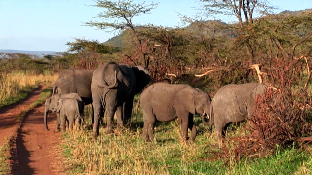 family of african bush elephant in serengeti n.p. - tanzania - elephant stock videos and b-roll footage