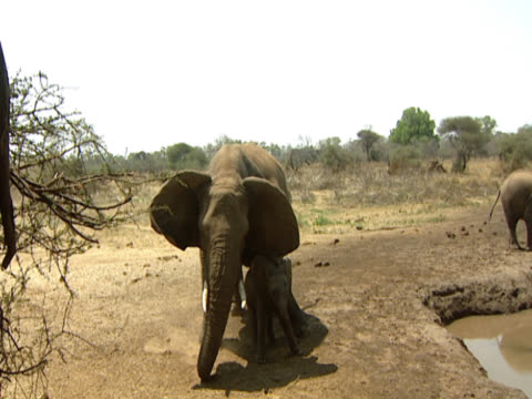 a family of african elephants (loxodonta africana) approaching a water hole, a calf notices the camera and walks over. the bull african elephant becomes agitated and steps over its offspring preparing to charge. filmed in mashatu, botswana. - cinque animali video stock e b–roll