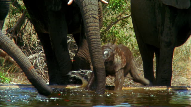 vidéos et rushes de a family of african elephants drink and play in a watering hole. - plan d'eau