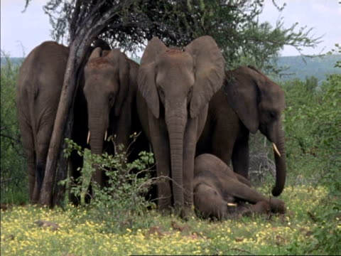wa family of african elephants, loxodonta africana, under a tree with baby on the floor, adult looks to camera, botswana, africa - animal nose stock videos & royalty-free footage