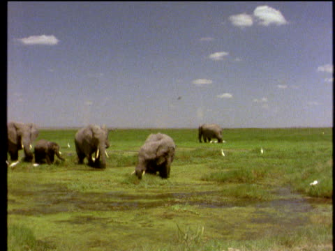 Family of African elephants walk through marsh led by largest male elephant grass and small white birds in background under blue sky