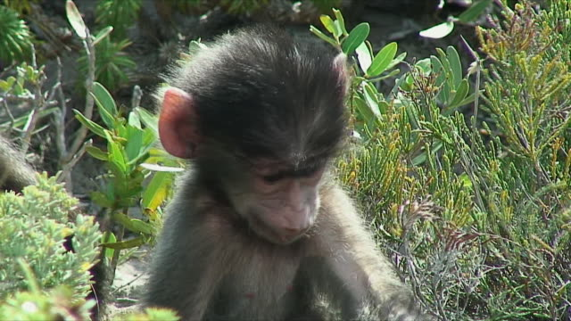 CU ZO WS Family of baboons in shrubbery / Cape of Good Hope, South Africa