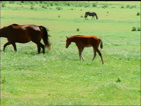 pan family of brown horses walking on green field / colt nursing from mother / korinth, fyn, denmark - 草食性点の映像素材/bロール