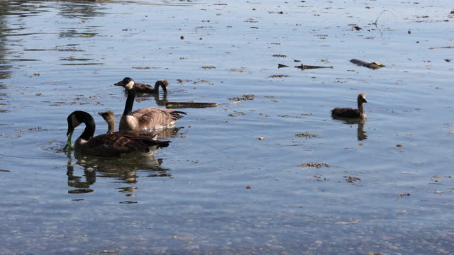 family of canada geese (branta canadensis) feed in ocean shallows - canada goose stock videos & royalty-free footage