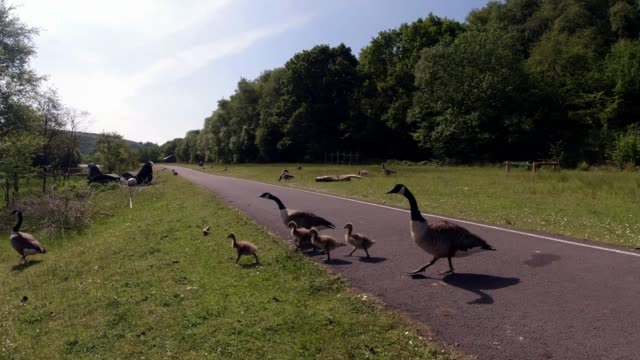 family of canadian geese make they way to the water on may 27 2020 in deri wales united kingdom the british government continues to ease the... - animal family stock videos & royalty-free footage