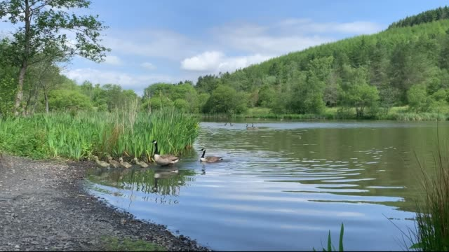 family of canadian geese swim along the lake on may 27 2020 in deri wales united kingdom the british government continues to ease the coronavirus... - animal family stock videos & royalty-free footage