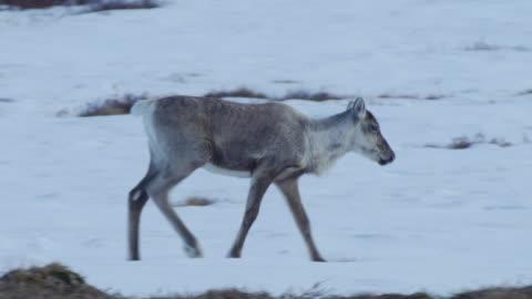 vídeos de stock e filmes b-roll de a family of caribou run over a mountain top - ártico