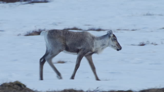 a family of caribou run over a mountain top - unity stock videos & royalty-free footage