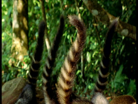 Family of coatis stick their striped tails in the air