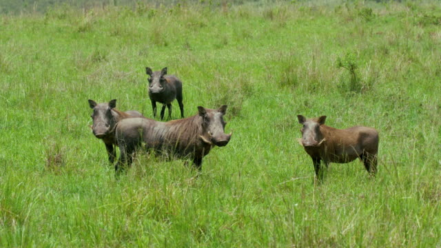 family of common warthogs looking at camera maasai mara  kenya  africa - wachsamkeit stock-videos und b-roll-filmmaterial