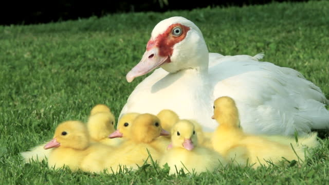 family of ducklings sitting on grass with mother duck - young animal stock-videos und b-roll-filmmaterial