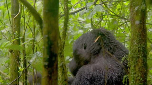 vídeos de stock e filmes b-roll de family of eastern lowland gorillas in the congo rainforest - planície