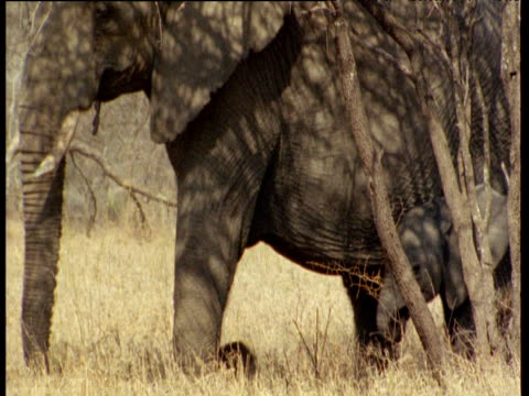 Family of elephants walks through Acacia scrub