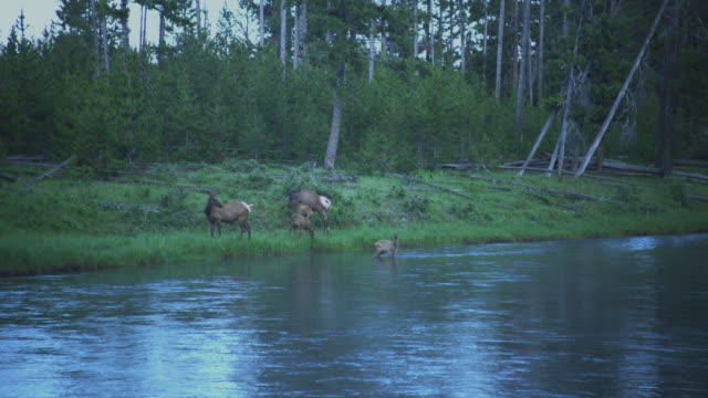a family of elk graze along the bank of the madison river in yellowstone national park, wyoming. - river yellowstone stock videos and b-roll footage