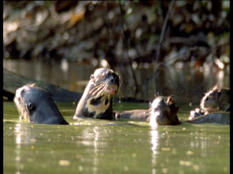 Family of giant otters relax in Amazon river