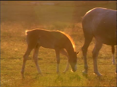 pan family of horses grazing in field / sunlight in background - 草食性点の映像素材/bロール