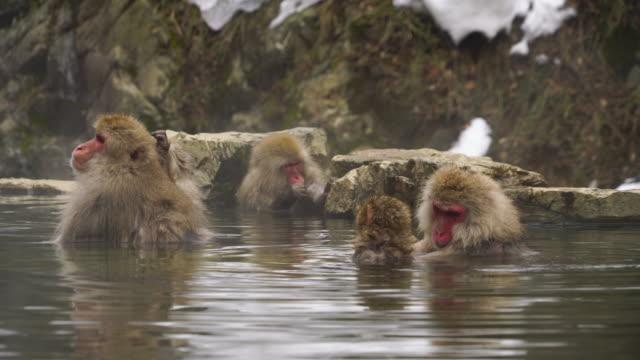 family of japanese snow monkeys relaxing and bathing in the hot spring among the snowy mountain in jigokudani snow monkey park (jigokudani-yaenkoen) at nagano japan on feb. 20 2019. - 温泉点の映像素材/bロール