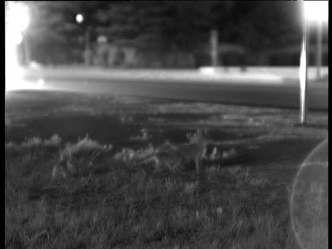 family of kit foxes next to road at night as car passes by, bakersfield - next to stock videos and b-roll footage