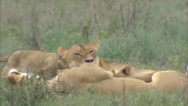 a family of lions lying down on the grass in serengeti national park, tanzania - kleine gruppe von tieren stock-videos und b-roll-filmmaterial