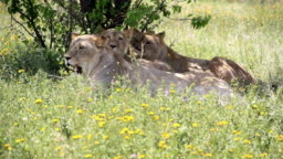family of lions resting in the meadow