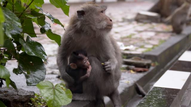 LS famille Macaque des singes
