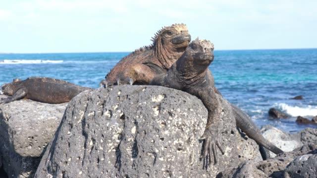 family of marine iguana on black rocks against sea - galapagos islands stock videos & royalty-free footage