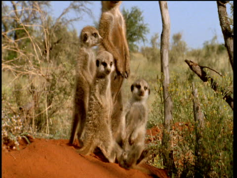 Family of meerkats standing up on duty, one falls asleep and topples over, South Africa